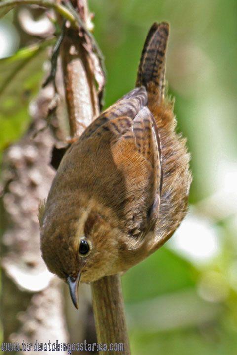 [:en]Bird Ochraceous Wren[:es]Ave Soterrey Ocroso[:]