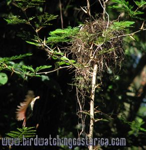 [:en]Bird Rufous-and-white Wren[:es]Ave Soterrey Rufo y Blanco[:]