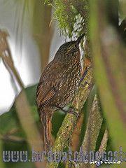 [:en]Bird Spotted Barbtail[:es]Ave Subepalo Moteado[:]