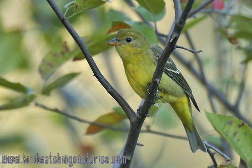 [:en]Bird Western Tanager[:es]Ave Tangara Carirroja[:]