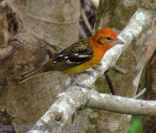 [:en]Bird Flame-colored Tanager[:es]Ave Tangara Dorsirrayada[:]