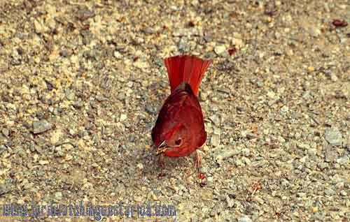 [:en]Bird Red-crowned Ant-Tanager[:es]Ave Tangara Hormiguera Coronirroja[:]