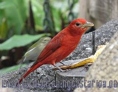 [:en]Bird Summer Tanager[:es]Ave Tangara Veranera[:]