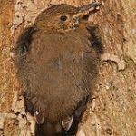 [:en]Bird Scaly-throated Leaftosser[:es]Ave Tirahojas Barbiescamado[:]