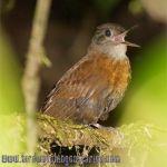 [:en]Bird Gray-throated Leaftosser[:es]Ave Tirahojas Gargantigris[:]