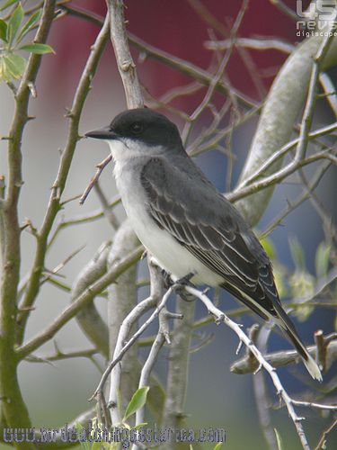 [:en]Bird Eastern Kingbird[:es]Ave Tirano Norteño[:]