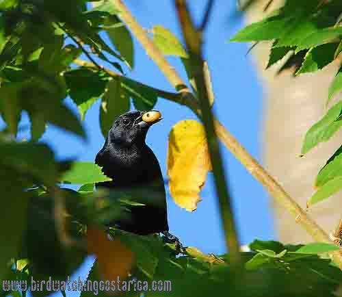 [:en]Bird Melodious Blackbird[:es]Ave Tordo Cantor[:]