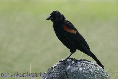[:en]Bird Red-winged Blackbird[:es]Ave Tordo Sargento[:]