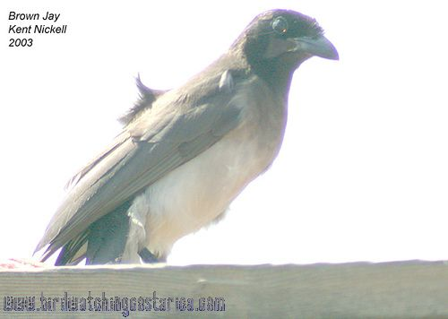 [:en]Bird Brown Jay[:es]Ave Urraca Parda, Piapia[:]
