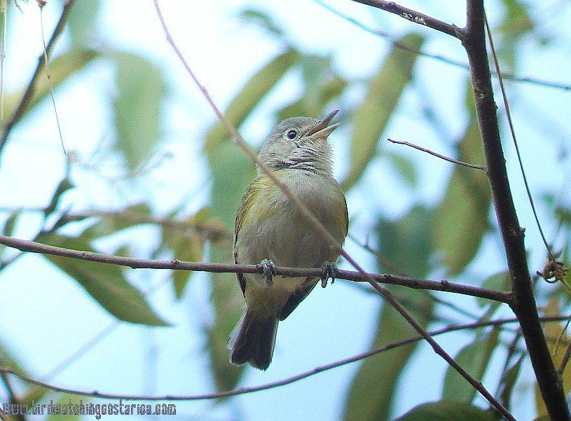 [:en]Bird Tawny-crowned Greenlet[:es]Ave Verdillo Leonado[:]