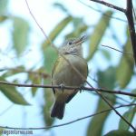 [:en]Bird Tawny-crowned Greenlet[:es]Ave Verdillo Leonado[:]