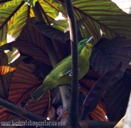 [:en]Bird Lesser Greenlet[:es]Ave Verdillo Menudo[:]