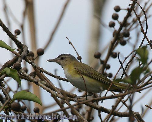 [:en]Bird Yellow-green Vireo[:es]Ave Vireo Cabecigris[:]