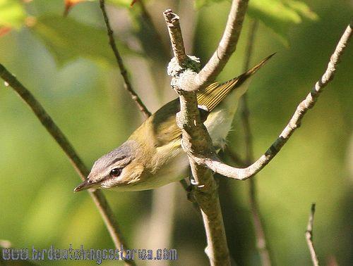 [:en]Bird Red-eyed Vireo[:es]Ave Vireo Ojirrojo[:]