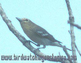[:en]Bird Yellow-throated Vireo[:es]Ave Vireo Pechiamarillo[:]