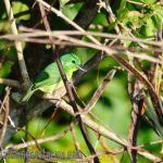 [:en]Bird Green Shrike-Vireo[:es]Ave Vireón Esmeraldino[:]