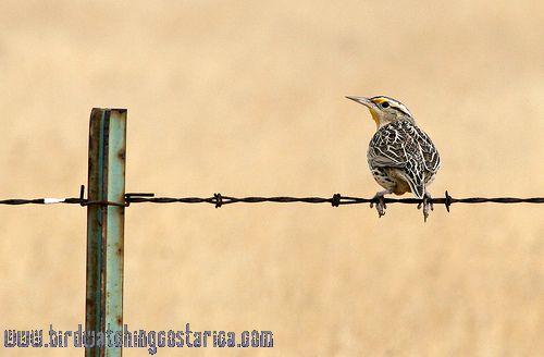 [:en]Bird Eastern Meadowlark[:es]Ave Zacatero Común[:]
