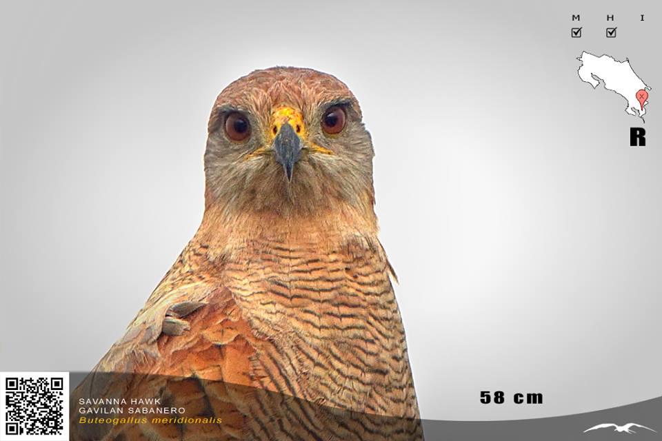 Grasshoper Sparrow