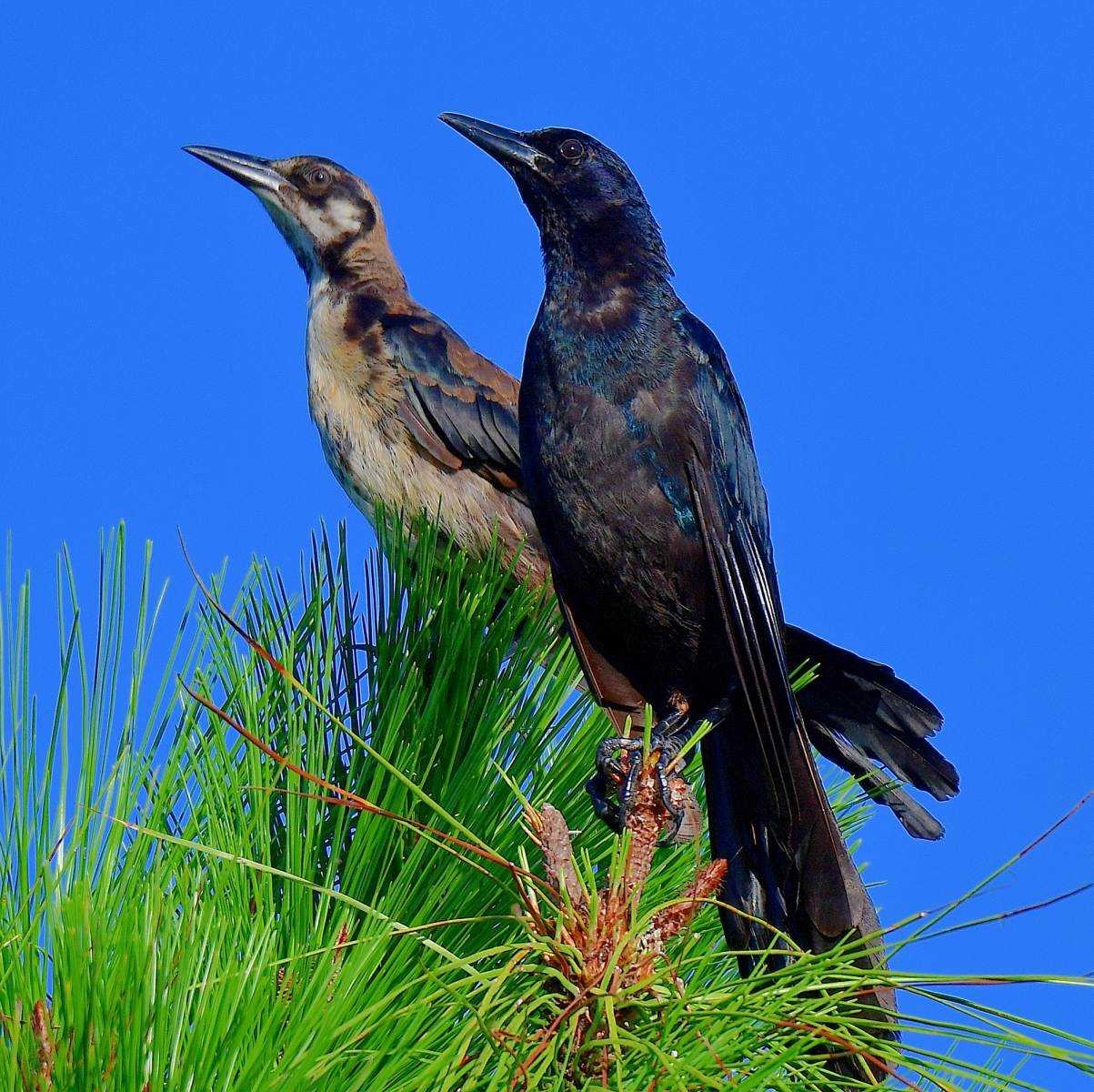 Boat-tailed Grackles by Marilynne Strazzeri