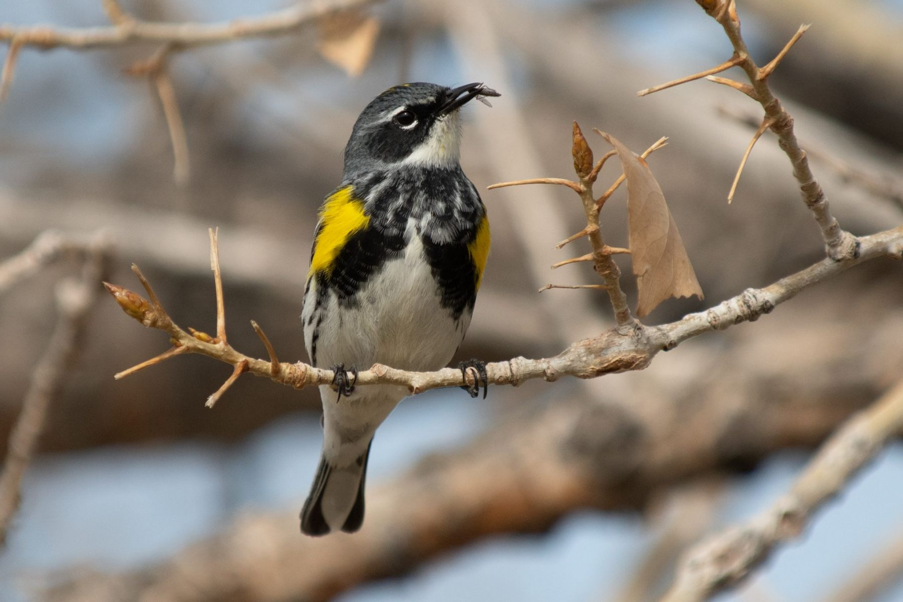 Yellow-rumped Warbler by Thomas Johnson