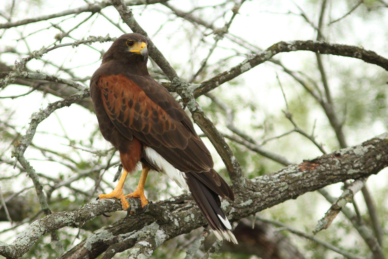 Harris's Hawk by Randy Smith