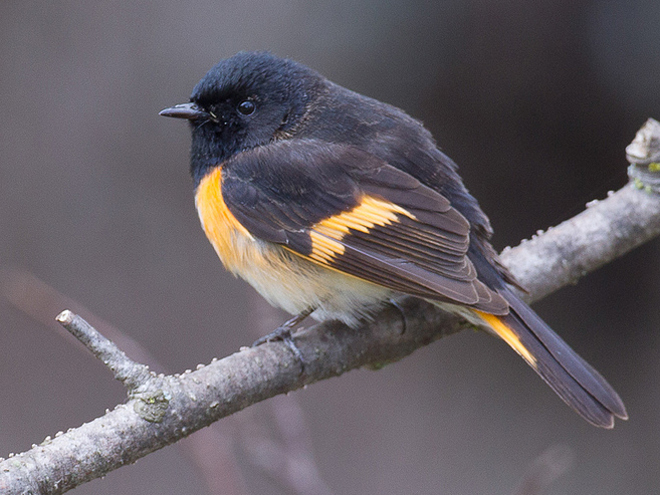 New research: Songbirds utilize weather patterns during migrations - BirdWatching
