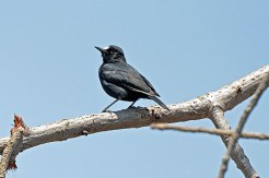 White-fronted Blackchat