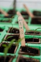 Tomatenanzucht: RAF-Tomatenkeimling