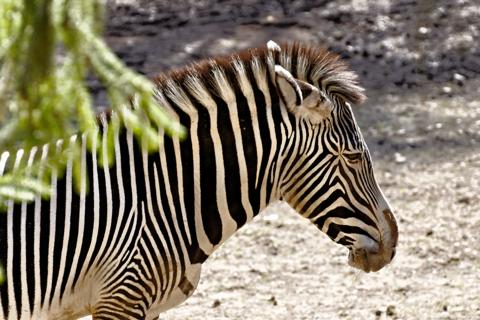 Bild: Böhm-Zebra im Tiergarten Nürnberg.