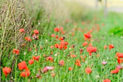 Bild: Roter Mohn auf einem Feld bei Quenstedt.