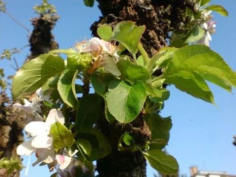 Bild: Blühender Apfelbaum in meinem Garten in München.