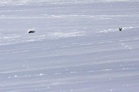 Bild: Das Böckchen wärmt sich in der Frühlingssonne, während die Ricke aufmerksam nach mir äugt. NIKON D90 mit AF-S Nikkor 70-300 mm.
