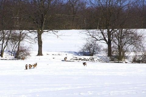 Bild: Der verharrschte Schnee stellt für das Rehwild ein großes Problem bei Nahrungssuche dar. Rehe bei Biesenrode im Unterharz. NIKON D90 mit AF-S Nikkor 70-300 mm.