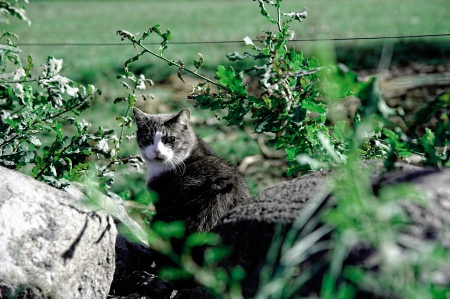 Bild: Die Katze von Kolboda in der historischen Provinz Småland in Schweden. NIKON D700 und AF-S NIKKOR 24-120 mm 1:4G ED VR. ISO 200 ¦ f/5,6 ¦ 120 mm ¦ 1/500 s ¦ kein Blitz.