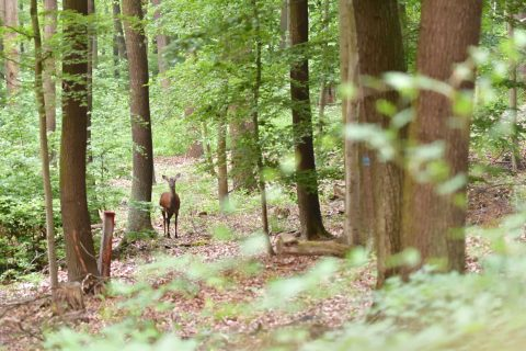 Bild: Schmaltier im Wald an einem Frühlingsmorgen. NIKON D500 mit AF-S VR MICRO-NIKKOR 105 MM 1:2,8G IF-ED. ISO 6.400 ¦ f/2.8 ¦ 105 mm ¦ 1/25 s ¦ kein Blitz. Klicken Sie auf das Bild um es zu vergrößern.