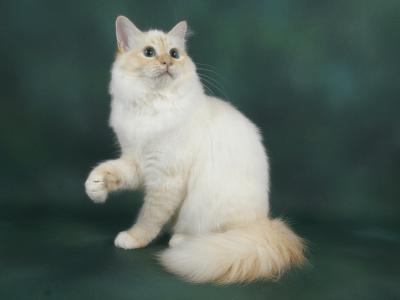 Cats, Seals and Birman cat on Pinterest