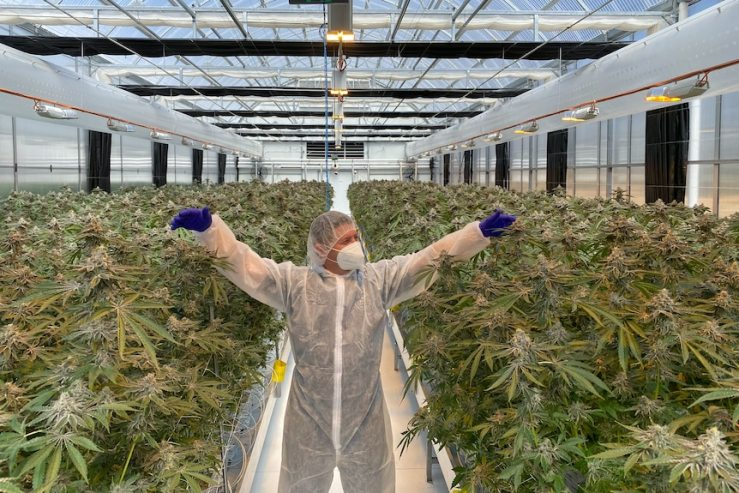 A man in overalls stands in a large crop of legal marijuana plants.