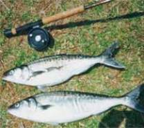 A pair of average kahawai that provided great sport on a fly rod