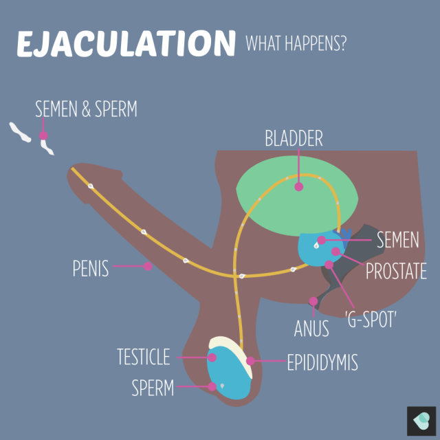 Ejaculation: what happens?