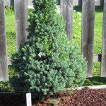 Picea_glauca_Blue_Wonder