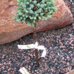 Picea_glauca_Burming_Well