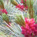 Pinus_pumila_Globe