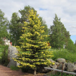 picea_pungens_mai_gold