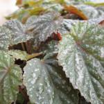 Begonia_gryphon