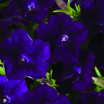 Petunia_blanket_midnight_velvet
