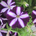Petunia_bonnie_purplestar