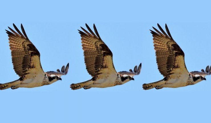 osprey 768x432 1