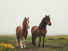"<span class=""quo"">'</span>Don't call me pony!' – Icelandic horses"