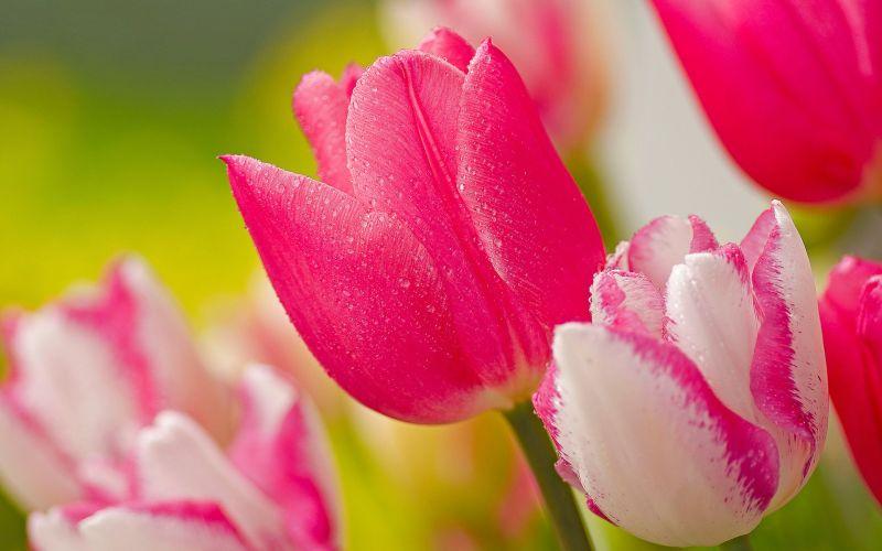 tulipan, cvijet