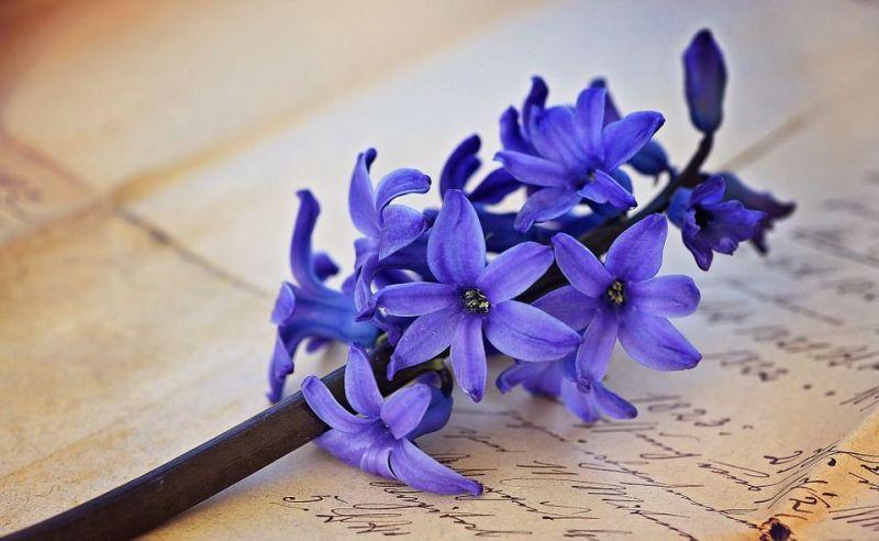 zumbul, cvijet